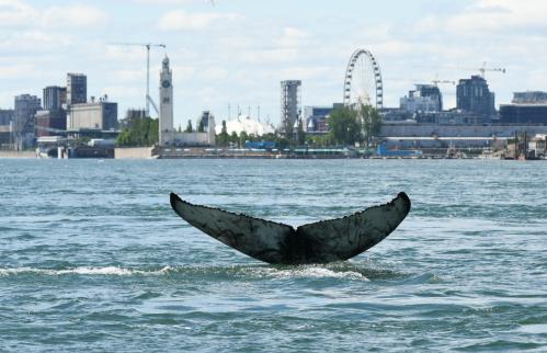 Une Baleine à Montreal