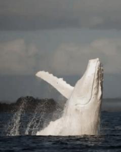 Brèche baleine blanche