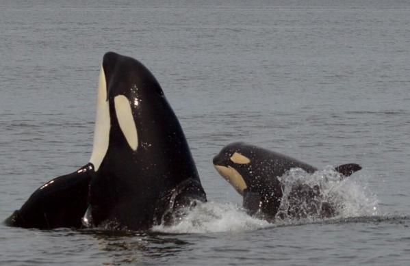 Jeune orque et sa mère