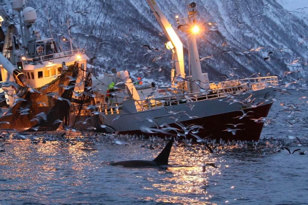 Orque et bateau de pêche