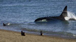 Orque chassant les otaries sur la plage