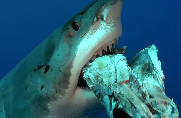 Alimentation Du Requin Blanc