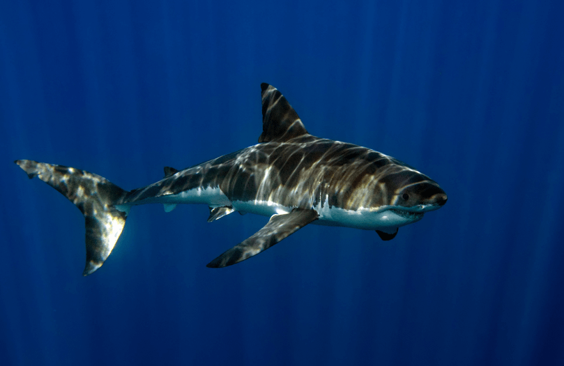 Grand requin blanc Australie