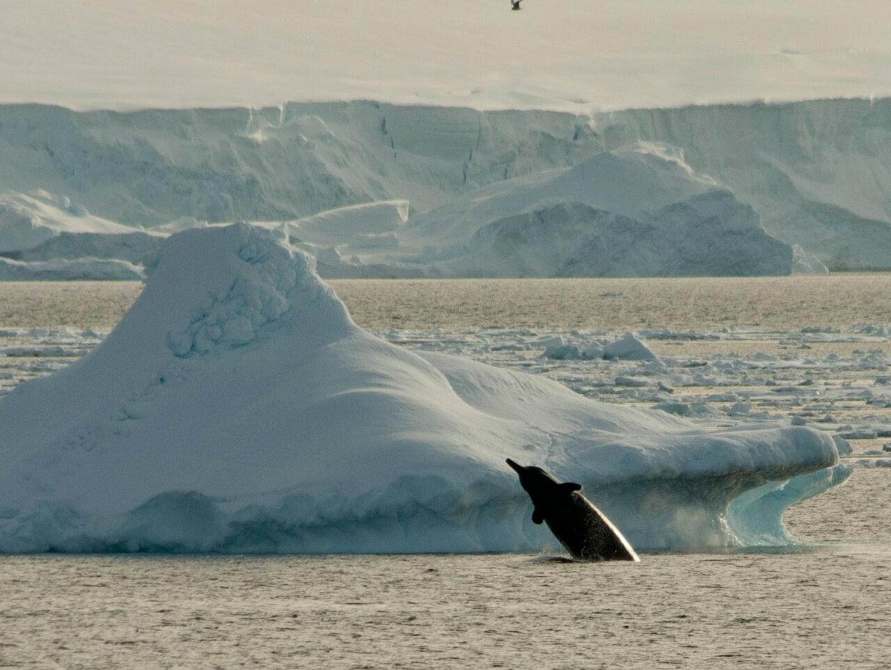 Baleine à bec Antarctique