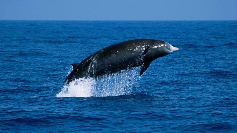 Baleine à Bec
