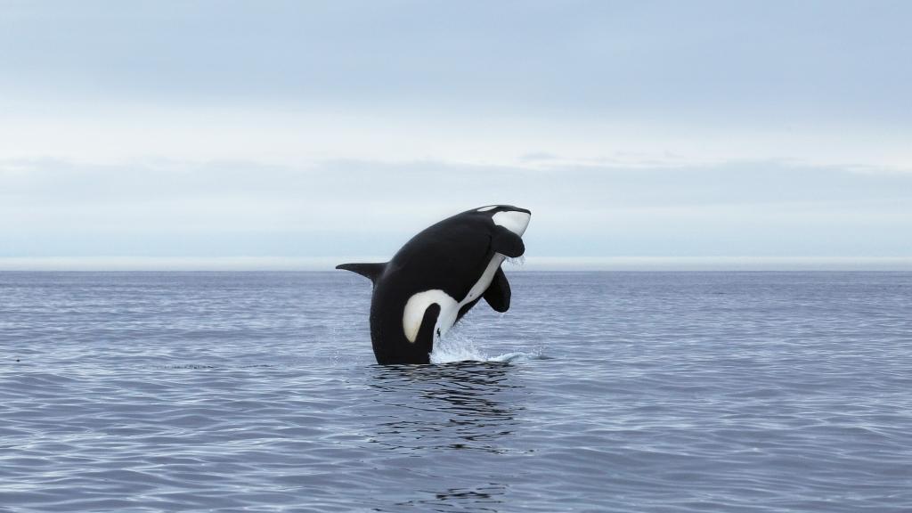Espérance de vie orque