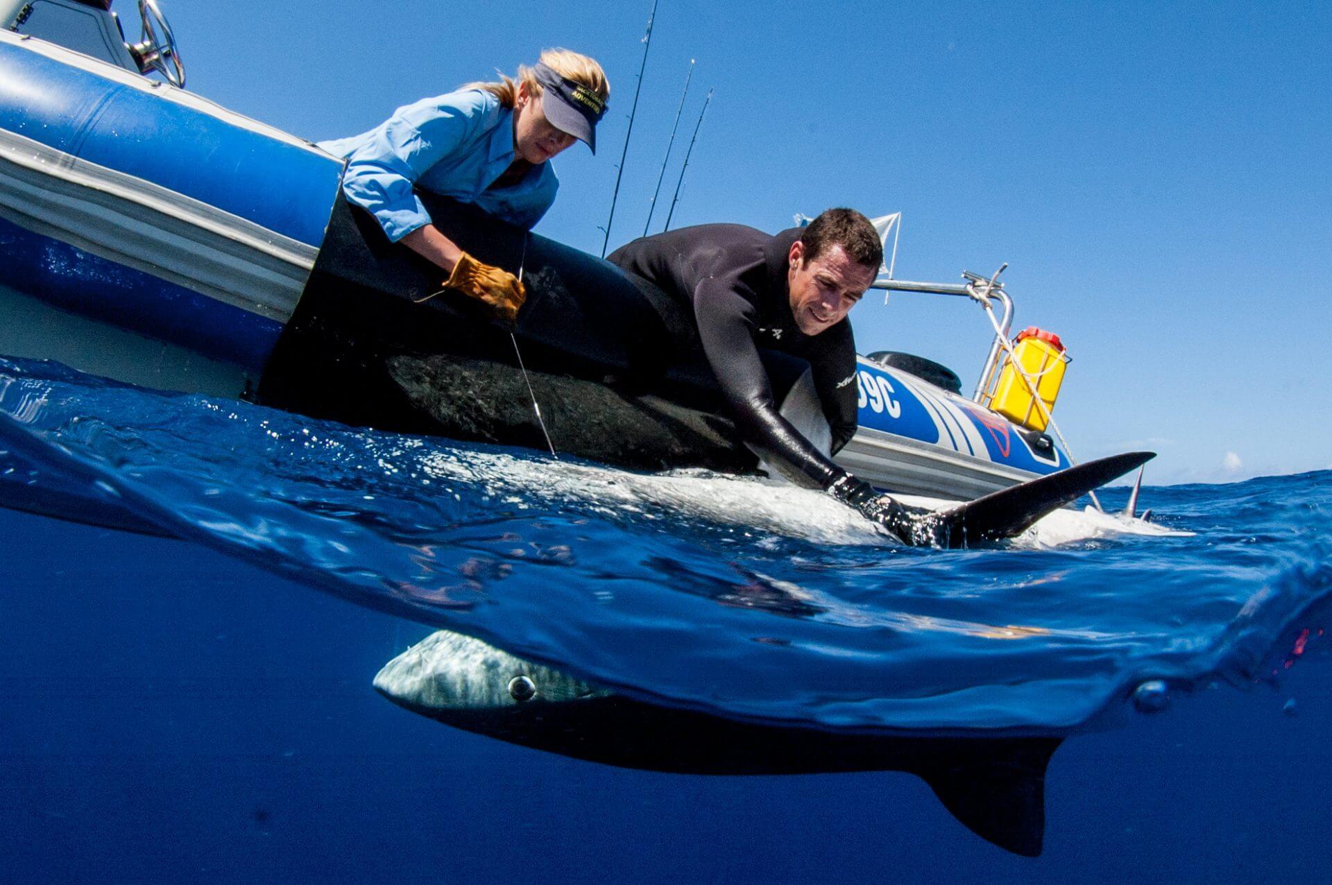 Marquage requin tigre