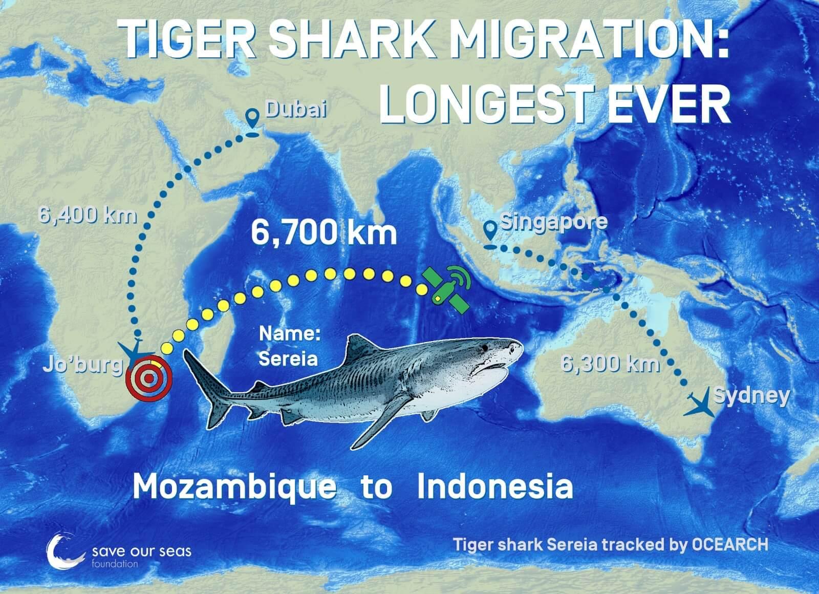 Requin tigre itineraire