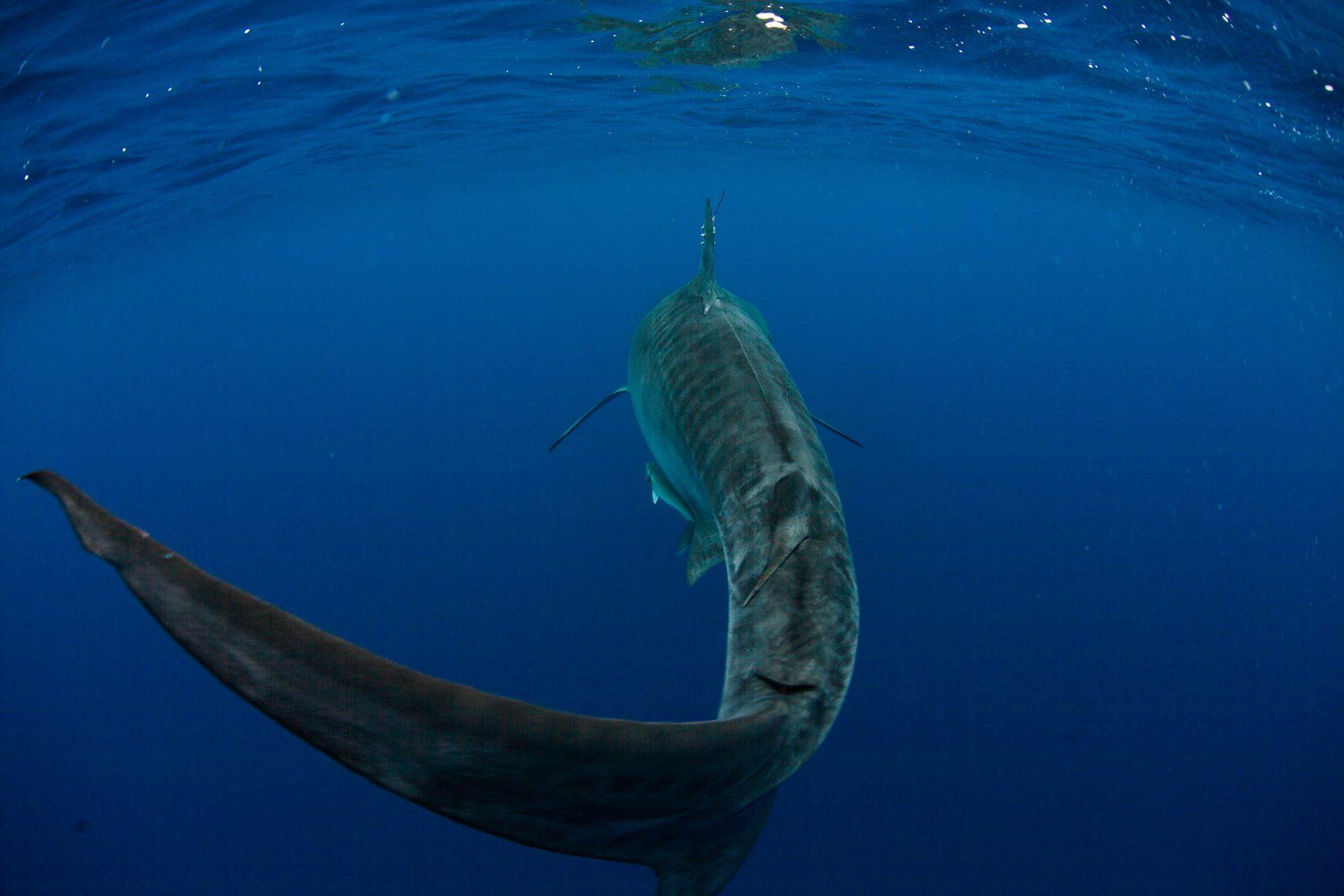 Requin tigre marquage