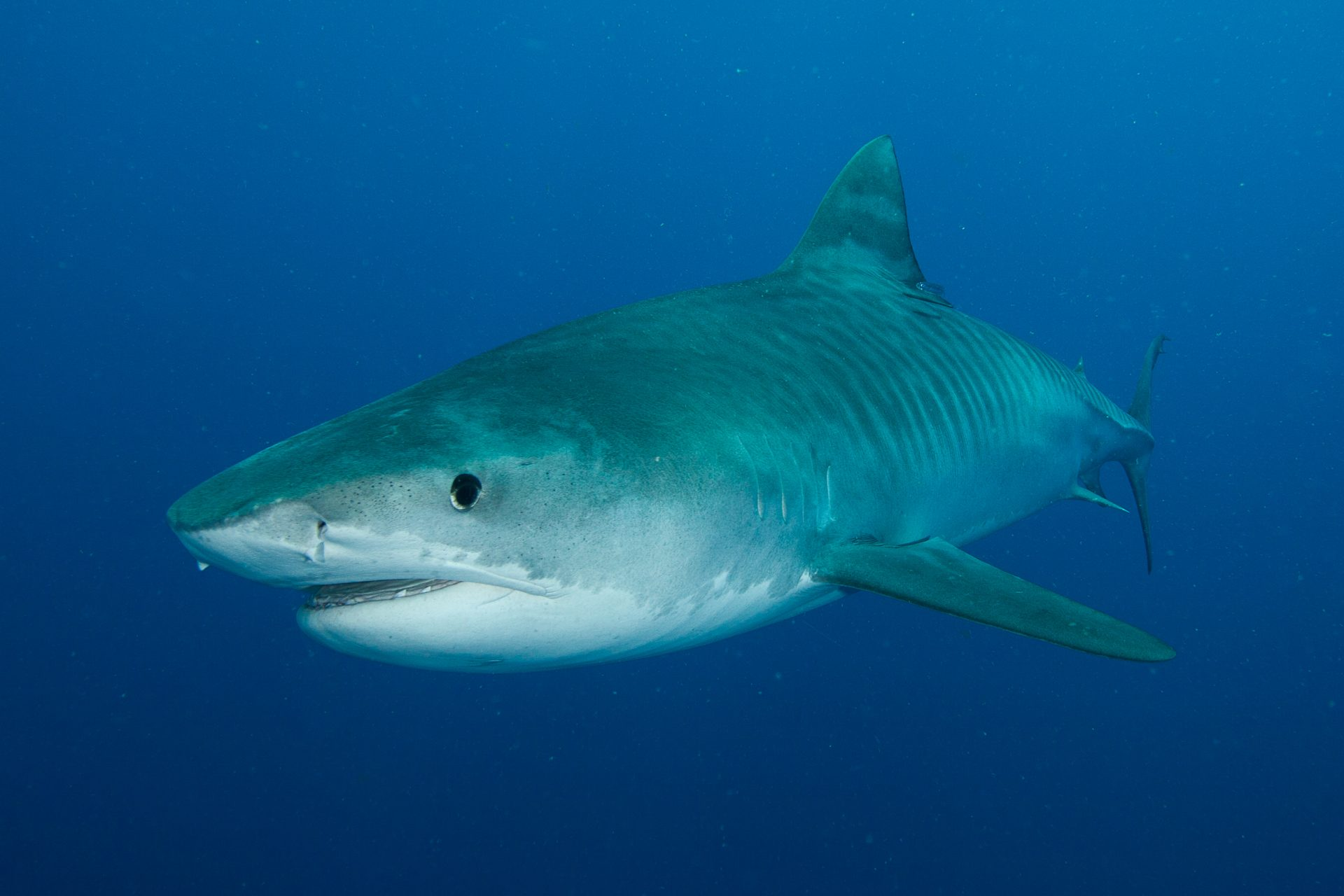 Requin Tigre Mozambique