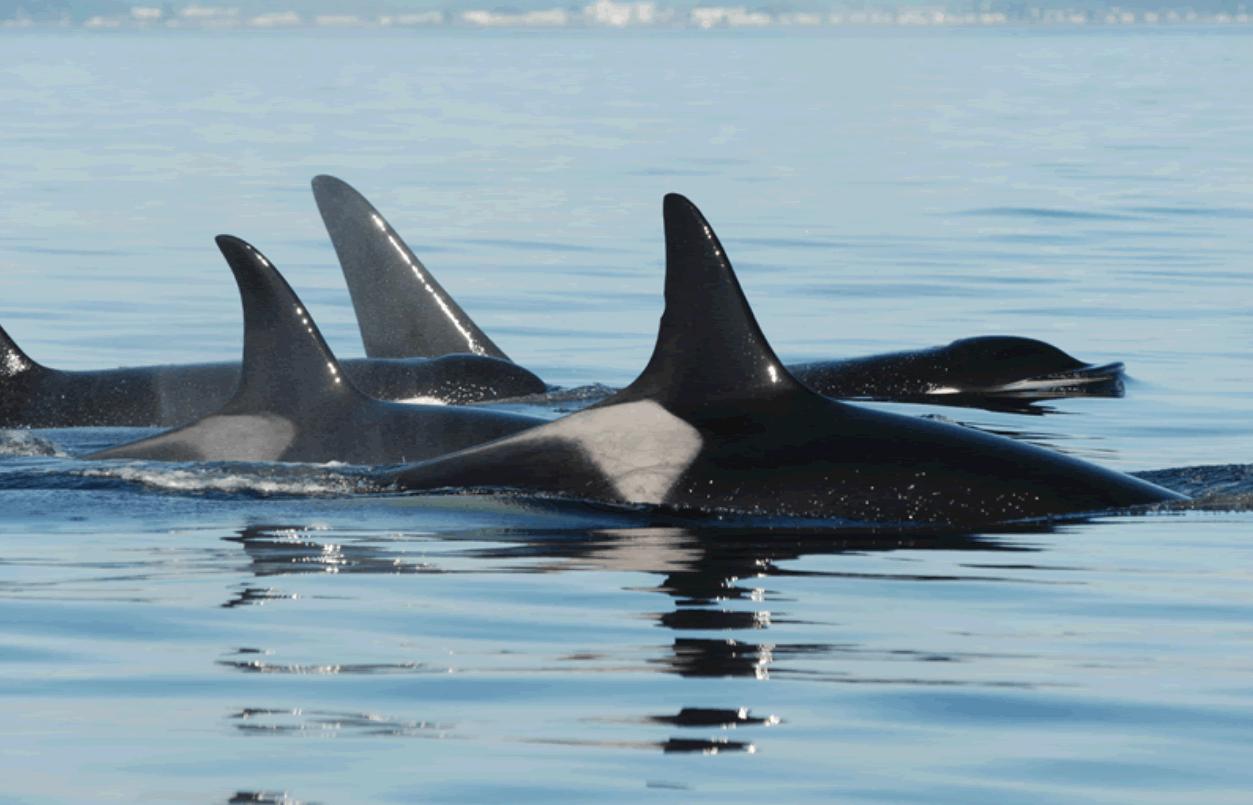 Durée de vie orque Granny
