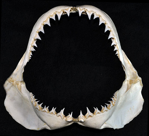 Morsure requin blanc