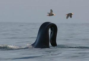 Nageoire d'orque