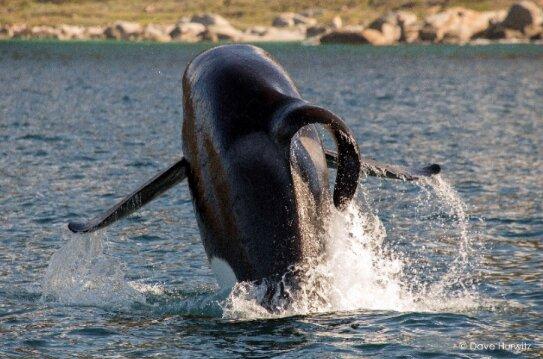 Orque aileron courbé