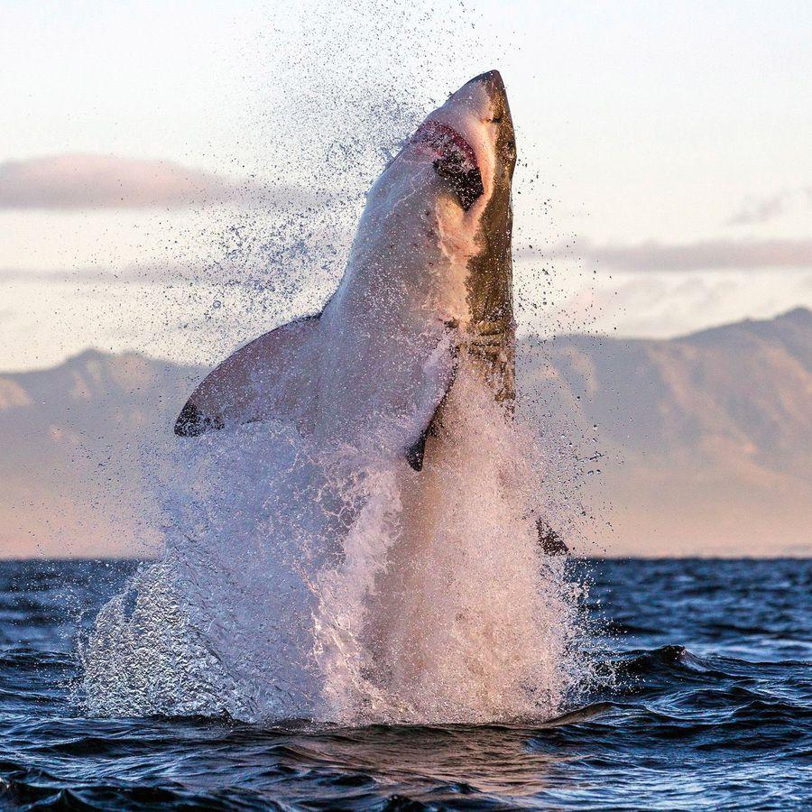 Requin blanc saut