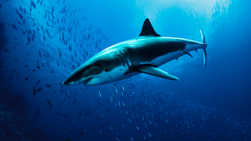 Requins blancs