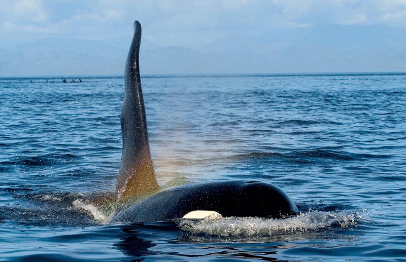 La Vie Intime De L'orque : Respiration Et Sommeil