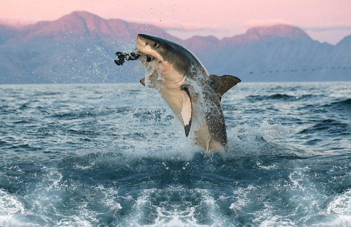 Saut du requin blanc