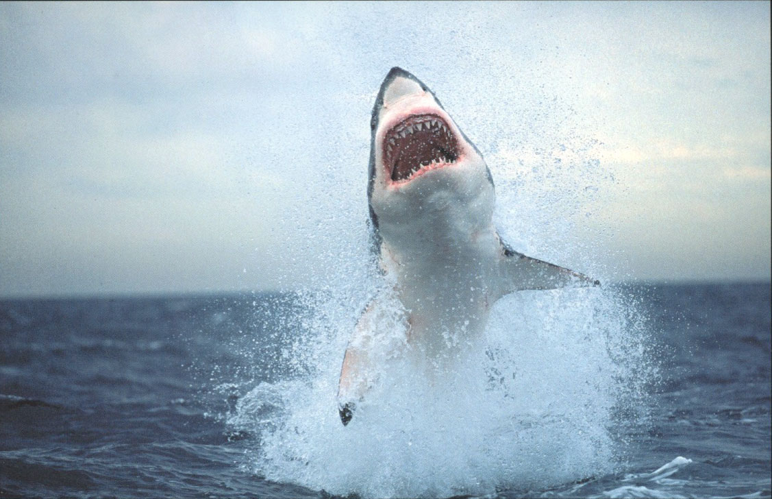 Saut requin blanc