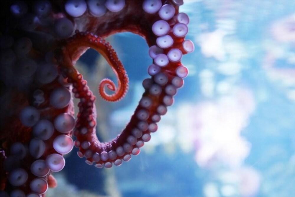 Tentacule de calamar