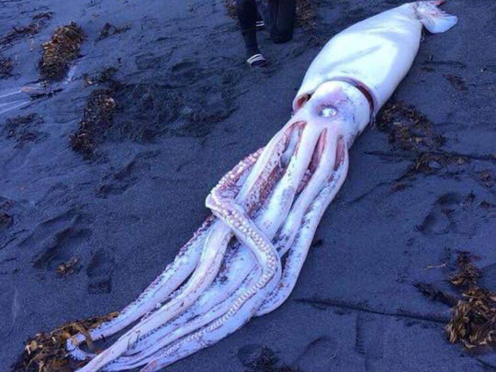 Un calamar géant