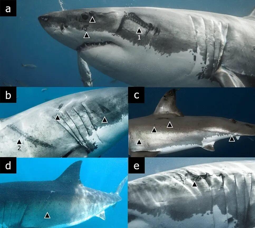 Calamar géant prédateur requin blanc