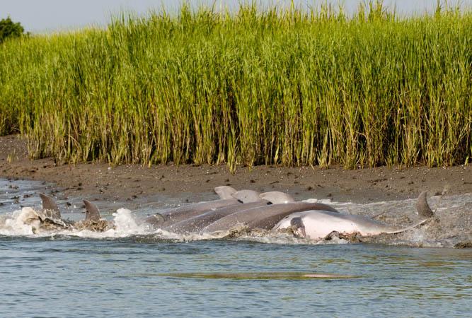 Échouage dauphin
