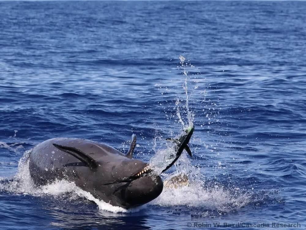 Fausse orque et daurade