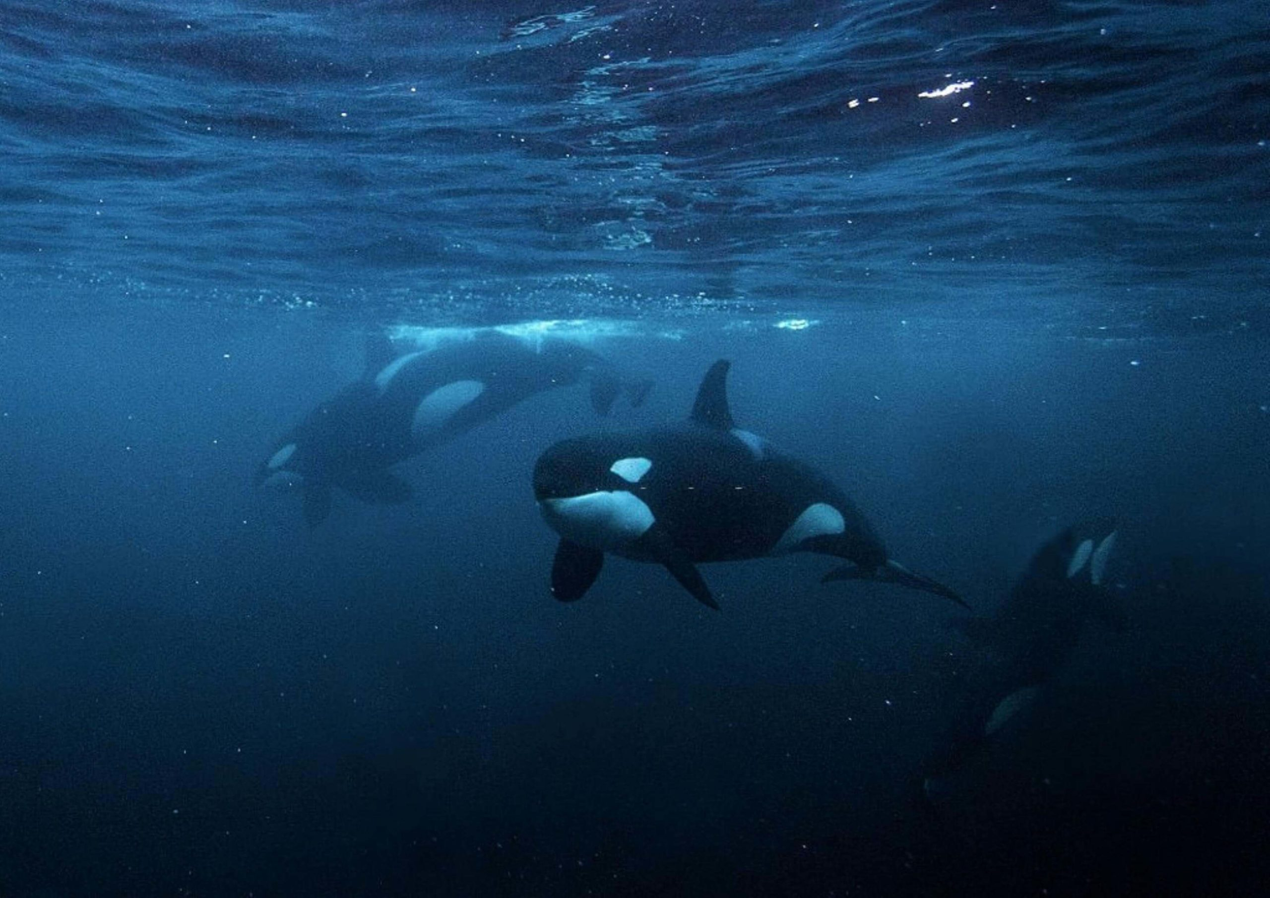 Les orques au Canada
