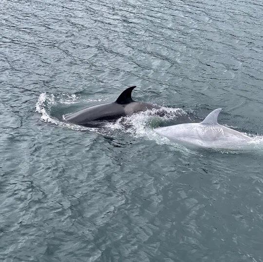 Orque blanche 8