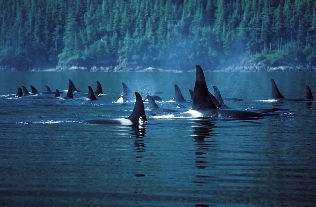 Plonger Avec Des Orques