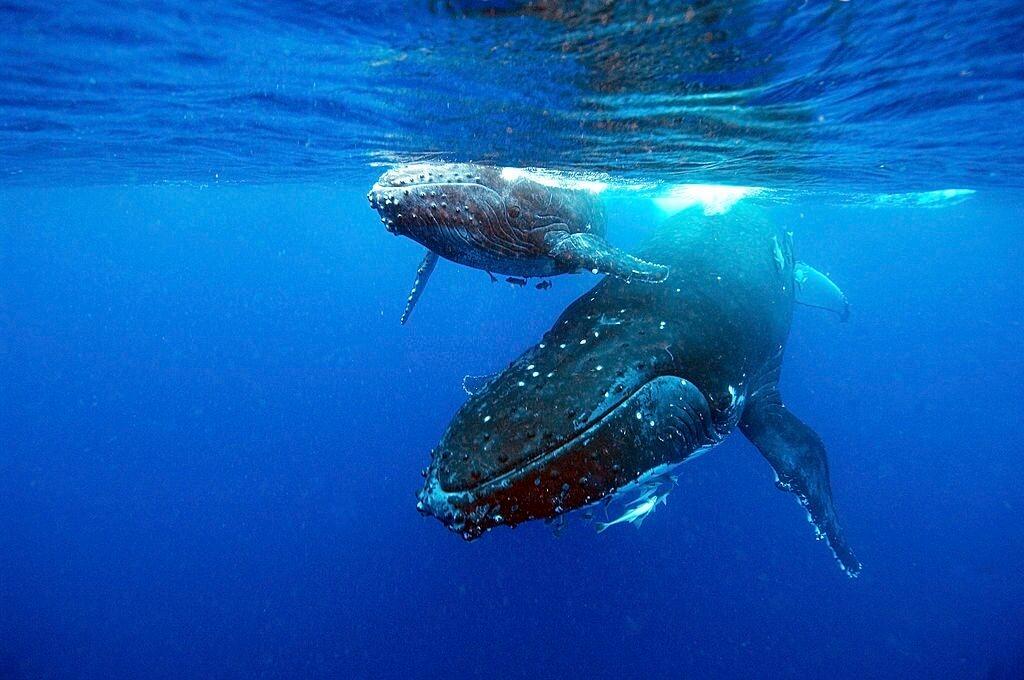 Baleine à bosse et baleineau