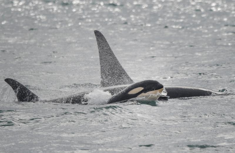 La Reproduction De L'orque