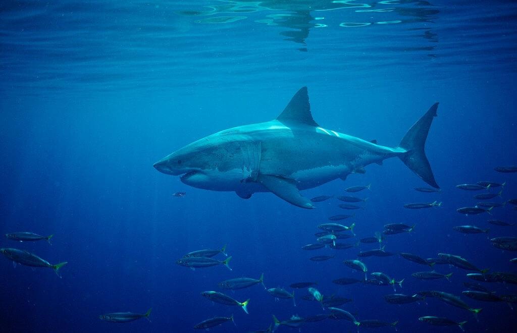 Plus grand requin blanc