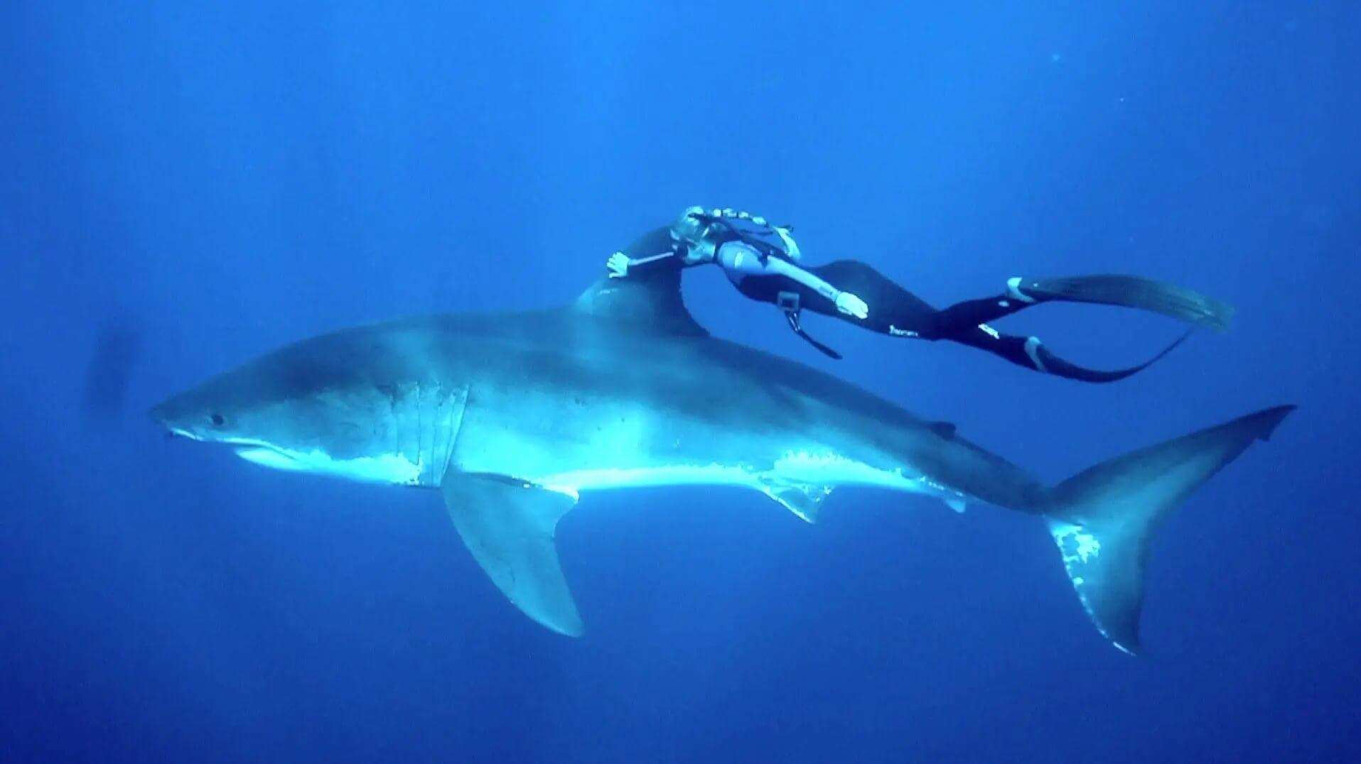 Ocean Ramsey et grand requin blanc