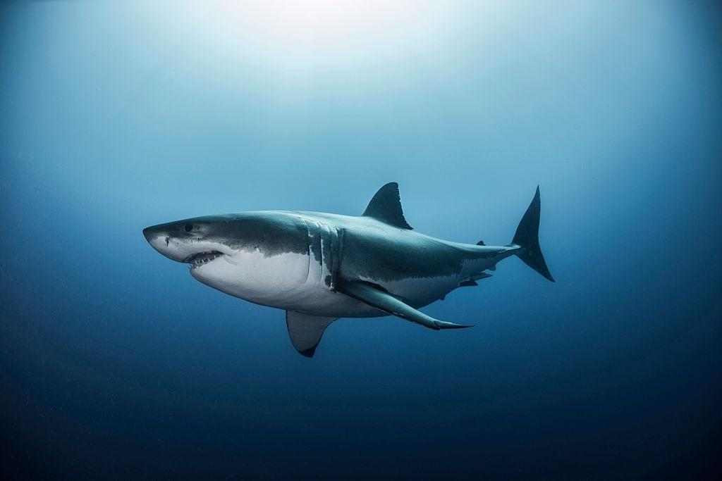 Poids du requin blanc