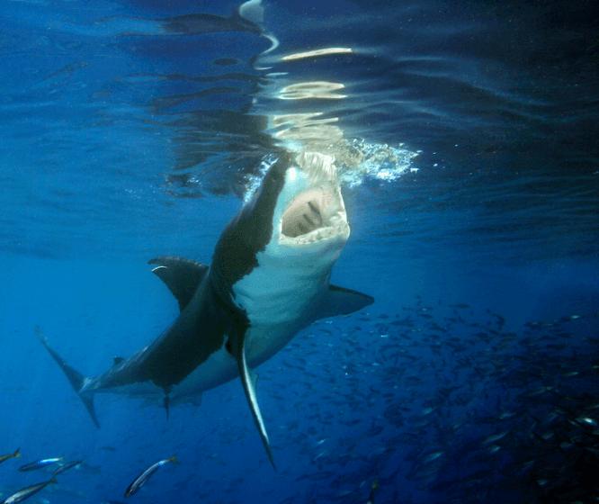 Poids grand requin blanc