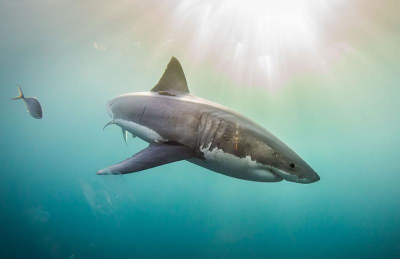Taille Et Poids Requin Blanc, Hier Et Aujourd'hui