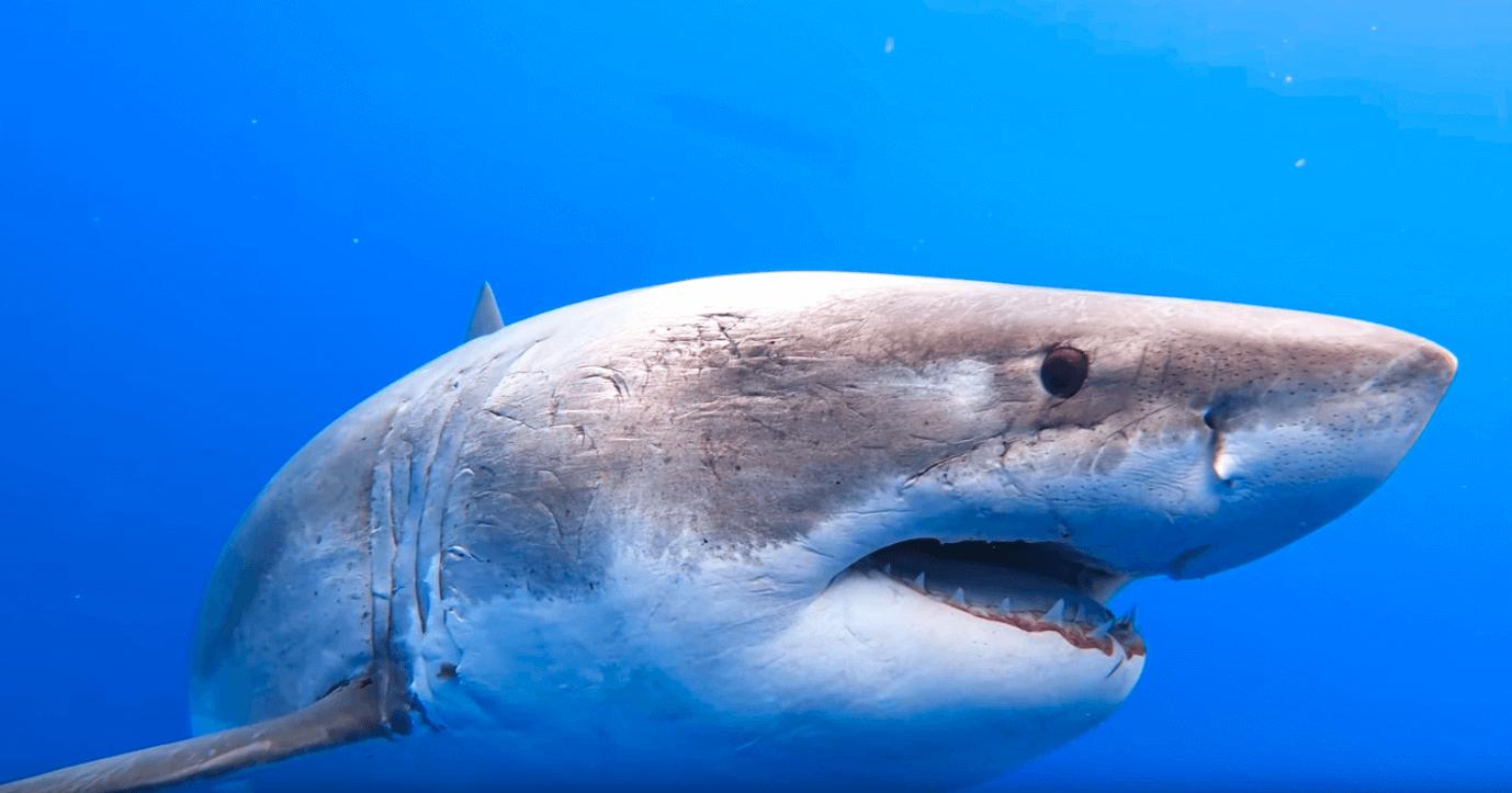 Requin blanc Deep Blue
