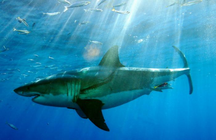 Taille du requin blanc