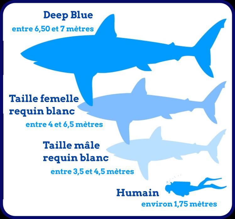 Comparaison taille requin blanc