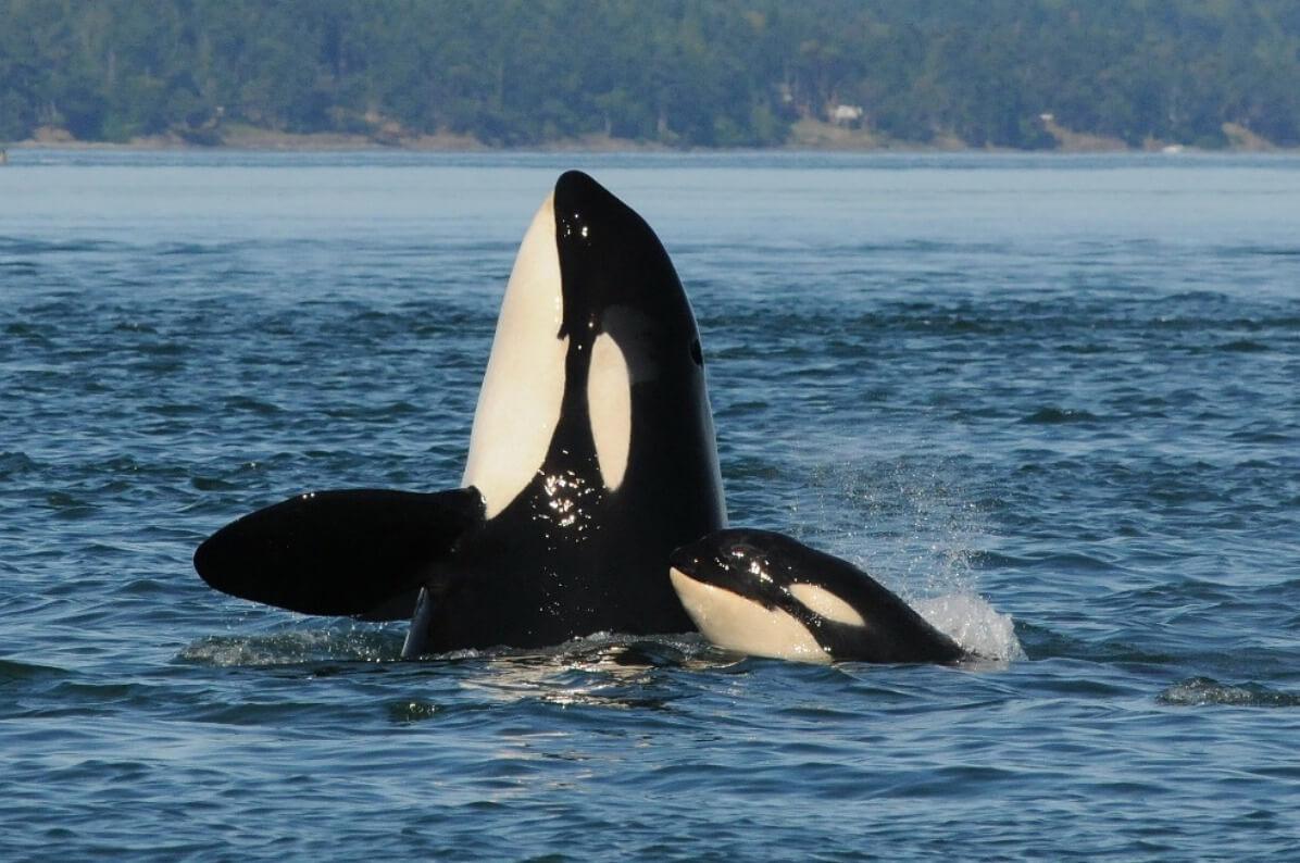 L103 et le bébé orque L123
