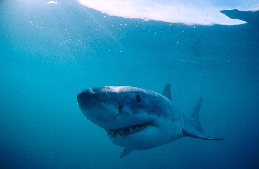 Bébé Requin Blanc Monterey