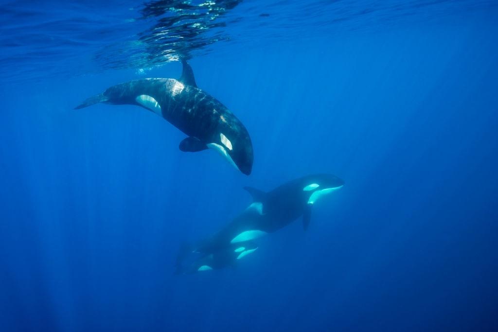 Canada orques