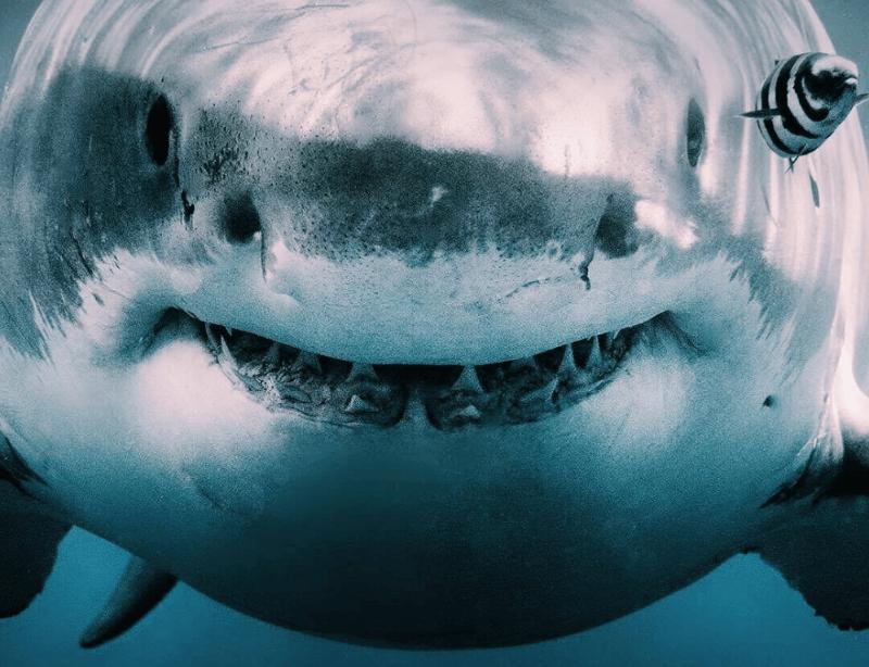 Dans Les Yeux Des Requins Blancs
