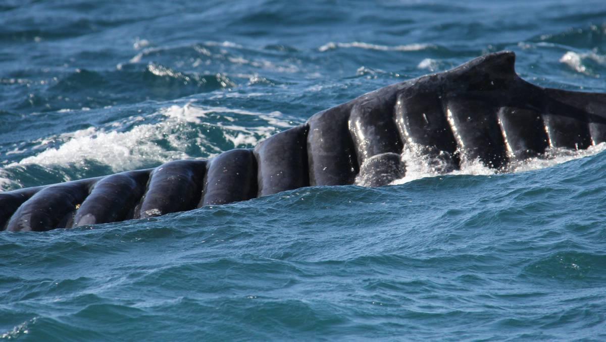 Dos baleine à bosse