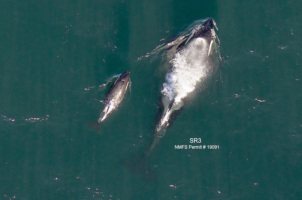 Mère et son bébé orque