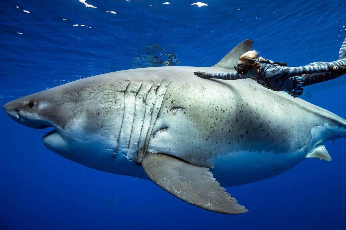 Ocean Ramsey Deep Blue Shark