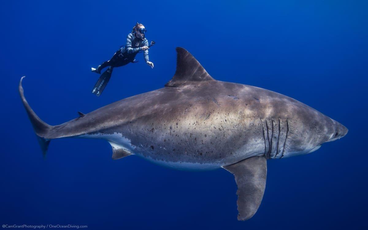 Ocean Ramsey requin blanc