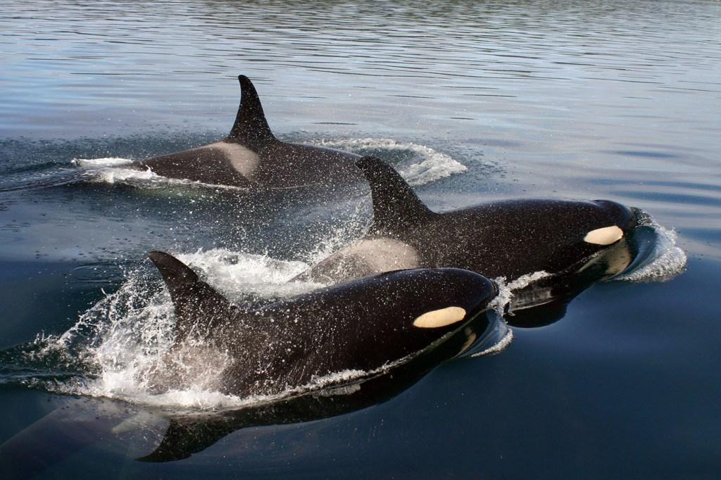 Orque Canada Et USA : à La Rencontre Des Résidentes Du Sud